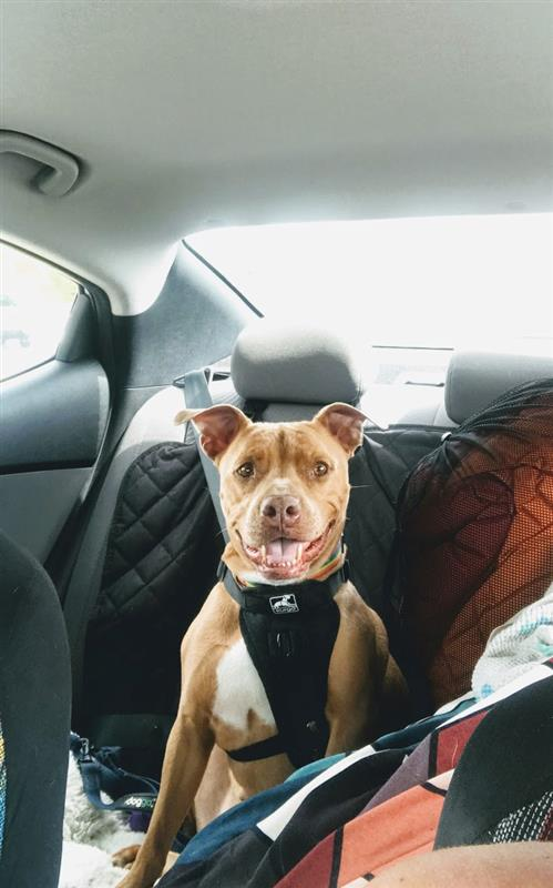 Merry is a brown pitbull dog. She is sitting in the back of a car wearing a harness for a leash and is smiling.