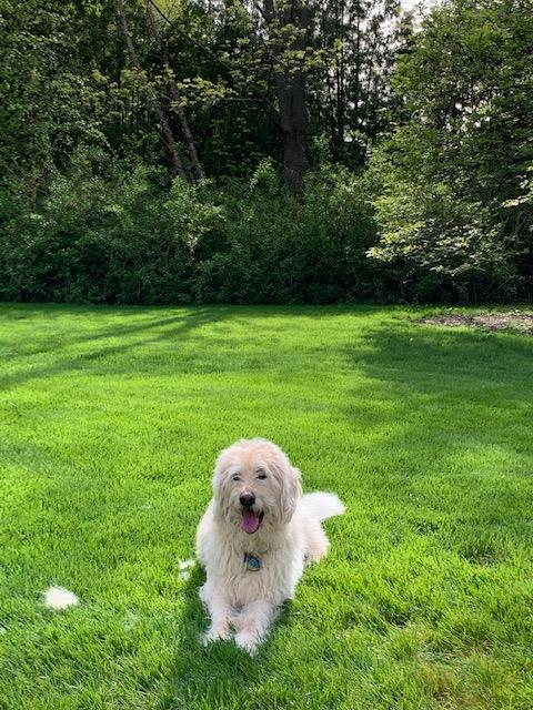 Dobby is a shaggy white dog. He is lying down on a lawn with trees behind him.