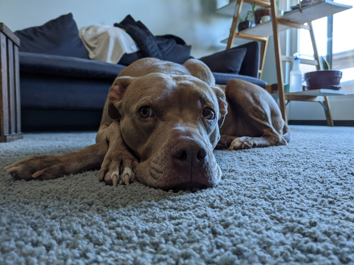 Close-up photograph of brown dog, Sammi. Sammi is lying on the floor with her paws crossed. The floor is carpeted. Behind her is a navy couch with many pillows, a table, and a window.